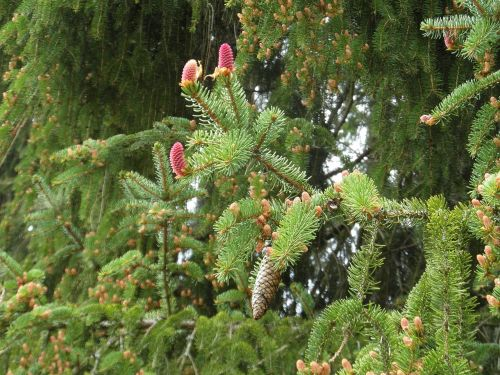 spruce conifer pine cones