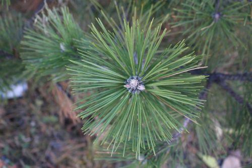 Spruce Branch