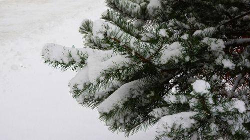 spruce branch spruce snow