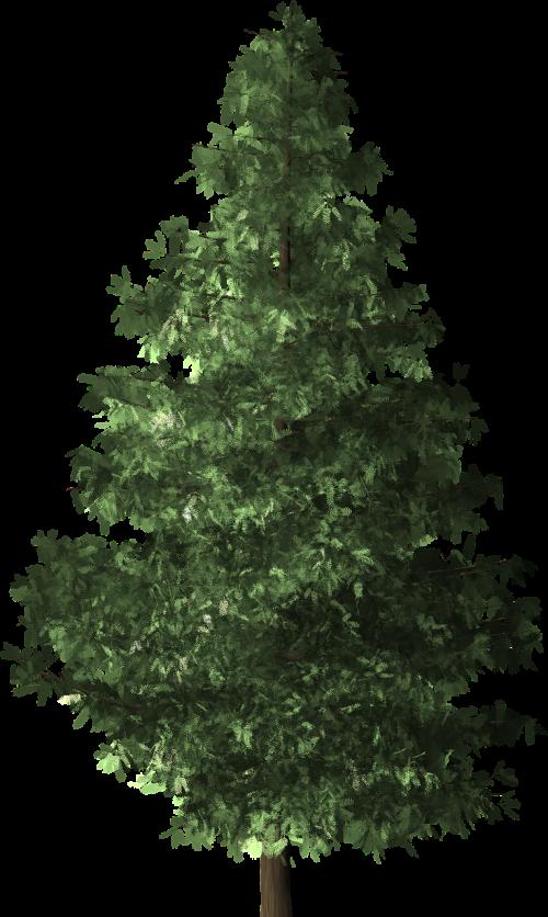 spruce tree spruce tree