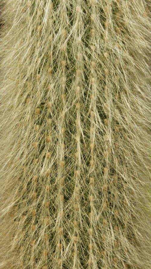 spur cactus close
