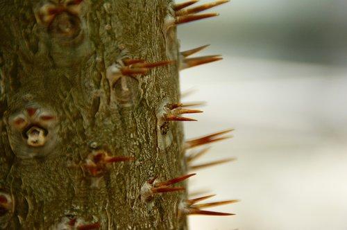 spur  plant  prickly