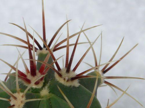 spur cactus ferocactus latispinus