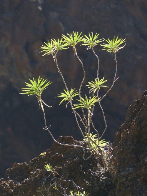 spurge bush plant