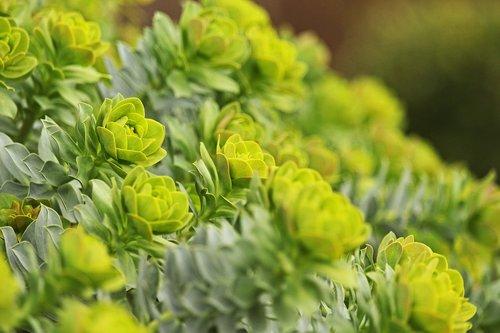 spurge  gartenstaude  toxic garden perennial