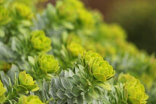 spurge  toxic garden plant  spring flower