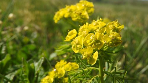 spurge chvojka spurge yellow flowers