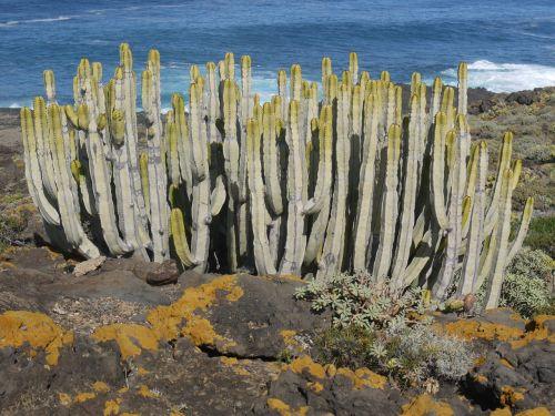 spurge family tenerife cactus