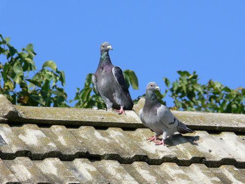 squab post pigeons pigeons