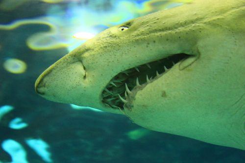 shark white shark sea