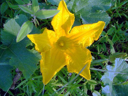 squash flower yellow