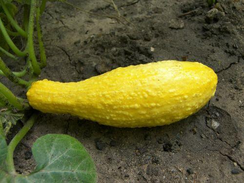 squash food vegetable