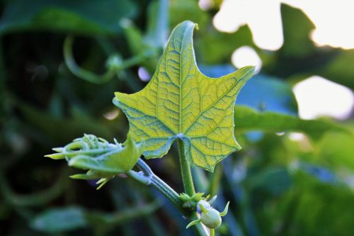 Squash Leaf Displaying Mapping