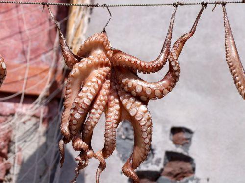 squid octopus fish