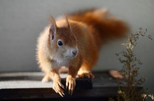 voverė,graužikas,mielas,gamta,laukinės gamtos fotografija,pūkuotas,priekinė,paukštis