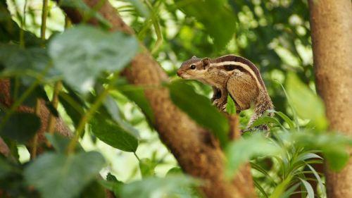 squirrel indian palm squirrel animal