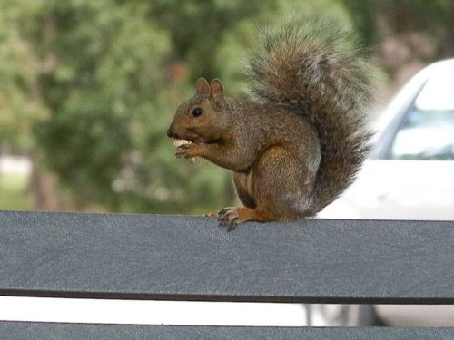 squirrel park animal