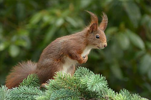 squirrel sciurus rodent