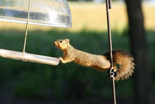 squirrel hungry acrobat