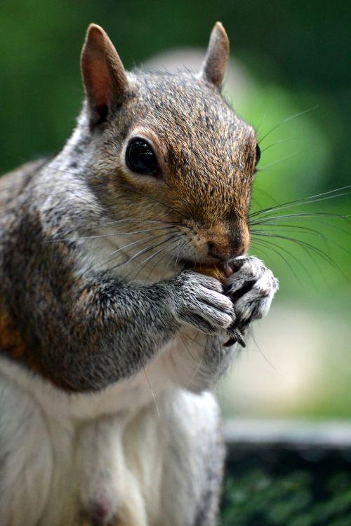 squirrel animal acorn