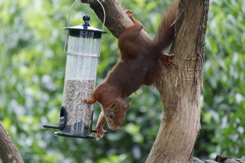 voverė,paukščių sėkla,saulėgrąžų sėklos,sodas,paukštis,medis,maitinimas,pakabinti ant medžio,maitinimas