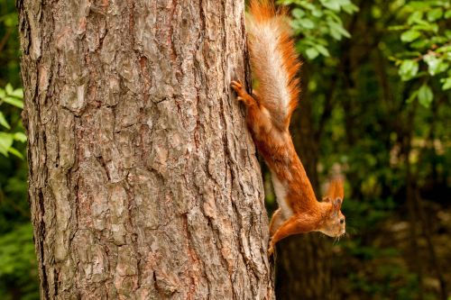 squirrel tree forest