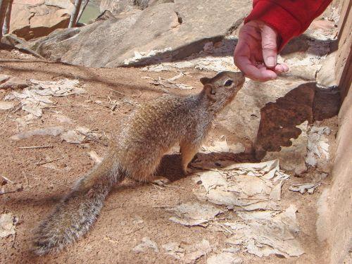 squirrel animal ground squirrel