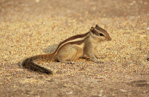 squirrel animals wildlife