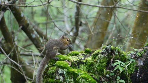 squirrel indonesian