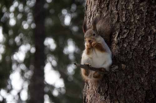 squirrel forest nature