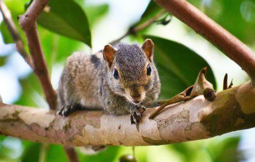squirrel animal mamal
