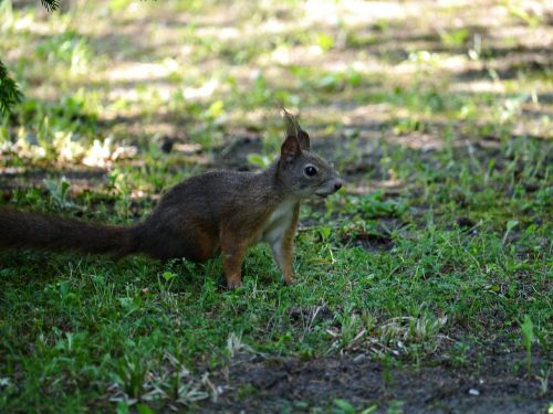 squirrel rodent forest
