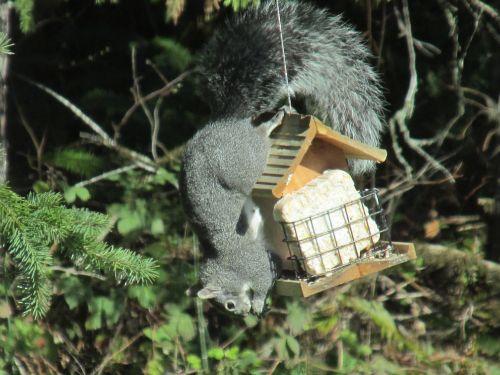 squirrel ingenious problem solving