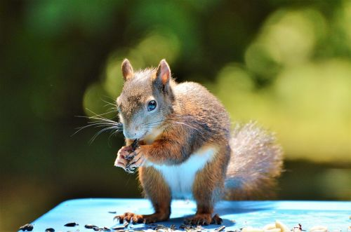 squirrel nager rodent