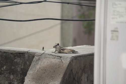 squirrel relaxing animal