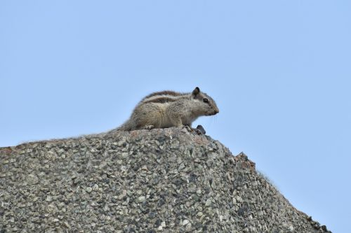 squirrel animal rodent