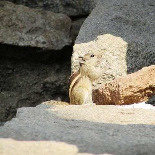squirrel eating hampi