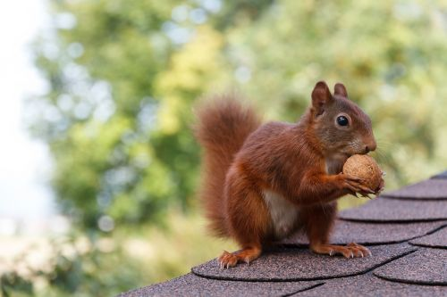 squirrel nut nibble