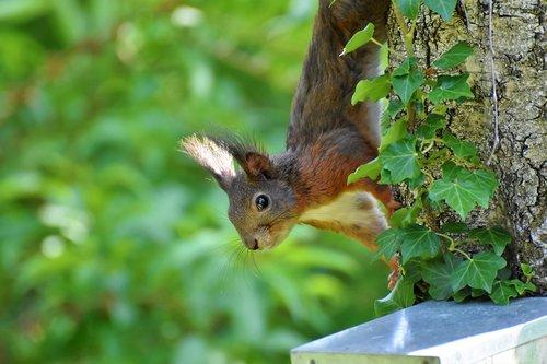 squirrel  rodent  verifiable kitten