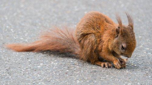 squirrel  foraging  cute