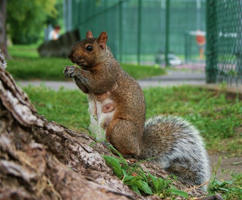 squirrel  mother  pregnant