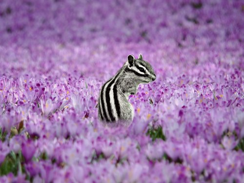 squirrel  move  lavender