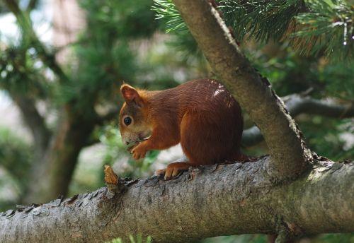 squirrel animal tree