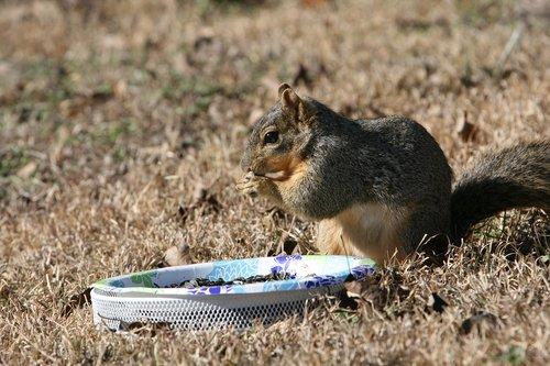 squirrel  backyard  eating