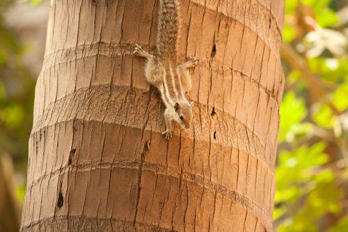 squirrel palm tree climbing