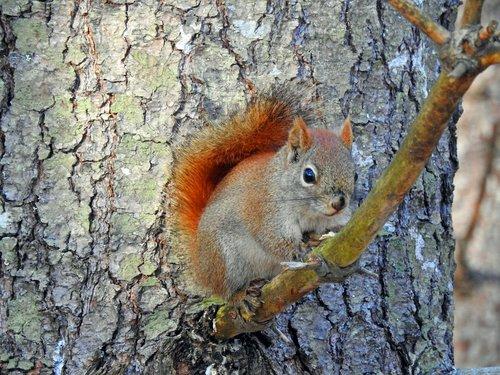 squirrel  nature  tree