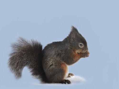 squirrel  croissant  rodent