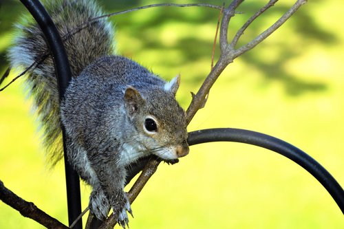squirrel  young  perched