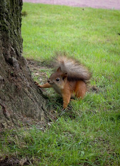 squirrel tail fluffy