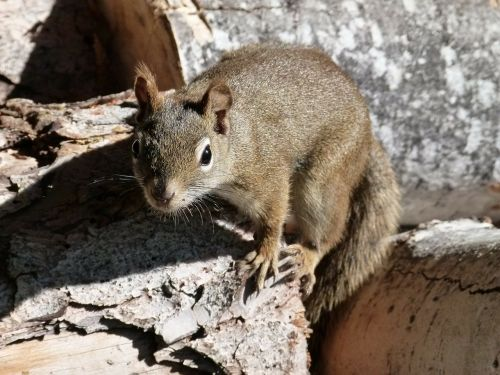 squirrel sciuridaeanimal ground squirrel